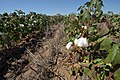 Cotton planted in terminated cover on Bobby Byrd's farm -- Hale County near Plainview, Texas. (24999030212).jpg