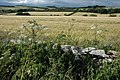 Cow parsley and barley, near Hampen - geograph.org.uk - 880758.jpg