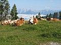 Cows in Salzburg.JPG