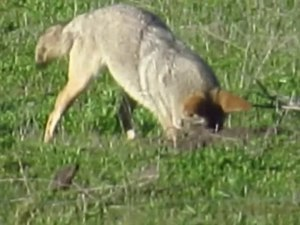 Fitxer:Coyote catches gopher.webm