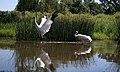 Crane Dance 9 - panoramio.jpg