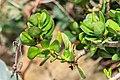 Crassula ovata in Botanischer Garten Muenster (2).jpg