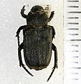 Cremastocheilus knochii LeConte, 1853 - 5436372734.jpg