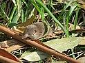 Crocidura russula 2601.jpg