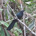 Crotophaga major - Flickr - Dick Culbert.jpg