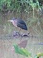 Crouching Heron (3830509404).jpg