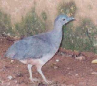 Undulated tinamou Species of bird