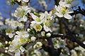 Cseresznye virága.jpg