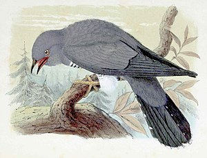 Birds in music - The cuckoo's well-known call is used in music by Beethoven, Delius, Handel, Respighi, Rimsky-Korsakov, Saint-Saens, and Vivaldi. Engraving by John Gerrard Keulemans, 1873