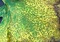 Cucurbit downy mildew (Pseudoperonospora cubensis) 5581639.jpg
