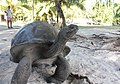 Curieuse Island, giant tortoise - panoramio.jpg