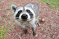 Curious Raccoon.jpg