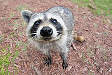 Raccoon Wikipedia
