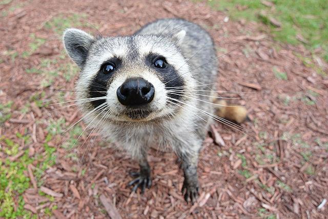 [Image: 640px-Curious_Raccoon.jpg]
