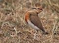 Cursorius temminckii -Masai Mara National Reserve, Kenya -male-8.jpg