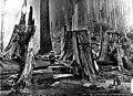 Cutting shingle bolts from redcedar log, Washington, 1902 (KINSEY 2779).jpg