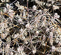 Cylindropuntia ramosissima 9.jpg