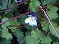 Cymbalaria muralis CloseupCampoCalatrava.jpg