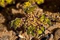 Cymopterus glomeratus - Flickr - aspidoscelis (3).jpg