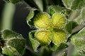 Cynoglossum officinale - Flickr - aspidoscelis (1).jpg