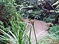Cyperus ustulatus ustulatus A.Rich. (AM AK290603-1).jpg