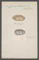 Cypraea isabella - - Print - Iconographia Zoologica - Special Collections University of Amsterdam - UBAINV0274 088 02 0051.tif