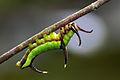 Cyrestis thyodamas formosana larva 20140412.jpg