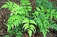 Cyrtomium falcatum 3.jpg
