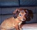 Dachshund Puppy.jpg