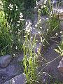 Dactylis glomerata (3861676627).jpg