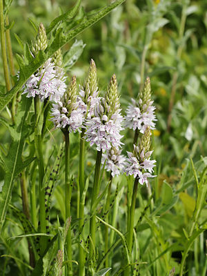 Common spotted orchid.
