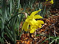 Daffodil Scotts Valley.jpg