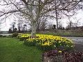 Daffodil corner, Bishopstone - geograph.org.uk - 358324.jpg
