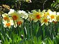 Daffodil varieties.jpg