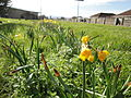 Daffodils along Yaverland Road 3.JPG
