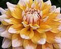 "Dahlia - ""Seattle"" cultivar.jpg"