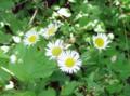 Daisy-Fleabane.png