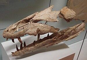 Metriorhynchidae - Dakosaurus maximus skull, Staatliches Museum für Naturkunde Stuttgart