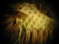 Dandelion Microscopic 1.jpg