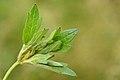 Dasineura ranunculi on Ranunculus repens (31077197524).jpg