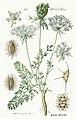 Daucus carota - Prof. Dr. Thomé-s Flora von Deutschland (Pl. 386) clean.jpg