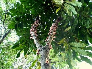 <i>Davidsonia</i> Genus of rainforest trees