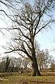 De 'Duizendjarige Eik' , opgaande boom - 375254 - onroerenderfgoed.jpg
