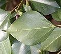 Dendropanax trifidus (leaf s3).jpg
