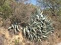 Densly crowded Agave americana - panoramio.jpg