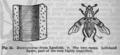 Descent of Man - Burt 1874 - Fig 25.png