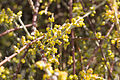 Desert mistletoe (Phoradendron californicum) blooms (16396047948).jpg