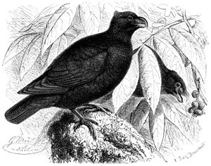 Tooth-billed pigeon - Illustration in habitat by Gustav Mützel