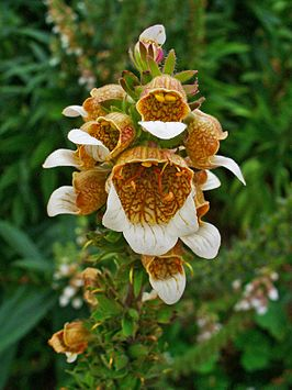 Digitalis lanata 004.JPG