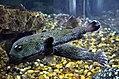 Diodon hystrix at El Gouna Aquarium by Hatem Moushir 2.JPG